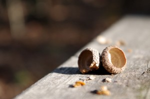 A late-spring frost seems to be the culprit in a lack of acorns this fall.