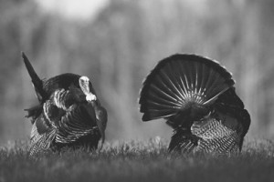 Just like deer, wild turkeys have a rut season fueled by testosterone. Hunters can easily turn that information to their advantage.